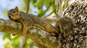 Fotos Nagetiere Eichhörnchen Ast Schwanz Tiere