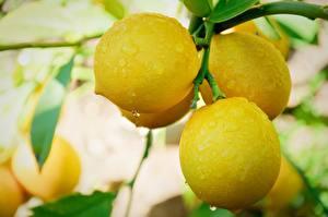 Fotos Zitrusfrüchte Zitrone Großansicht Ast Tropfen Lebensmittel