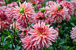 Bilder Georginen Großansicht Knospe Rosa Farbe Blüte