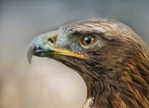 Image Bird Eagles Closeup Beak Head Animals
