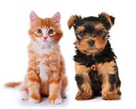 Hintergrundbilder Yorkshire Terrier