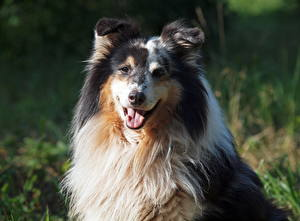 Pictures Dog Collie