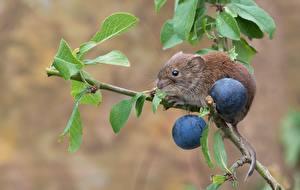 Bilder Mäuse Pflaume Nagetiere Ast Tiere