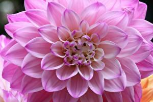 Hintergrundbilder Dahlien Großansicht Rosa Farbe Blumen