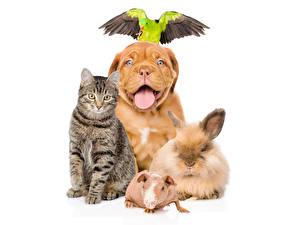Fotos Katze Hunde Hausmeerschweinchen Kaninchen Falken Dogue de Bordeaux Tiere