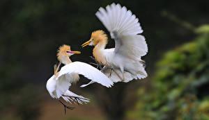 Photo Heron Two Bubulcus ibis Animals
