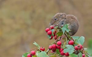 Bilder Nagetiere Mäuse Beere Ast Tiere