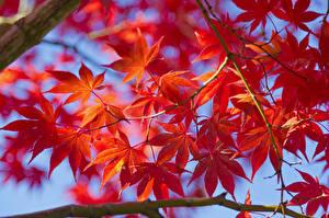 Fotos Herbst Jahreszeiten Ast Blatt Ahorne Natur
