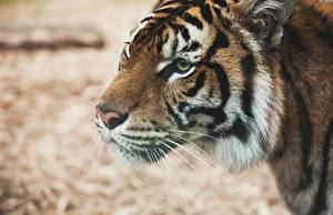 Photo Big cats Tiger Closeup Snout Glance animal
