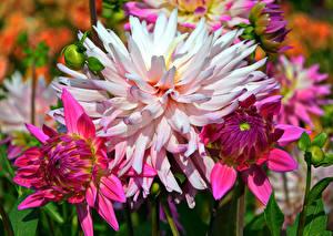 Hintergrundbilder Dahlien Großansicht Blüte