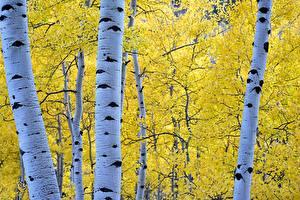 Fotos Herbst Jahreszeiten Baumstamm Ast Blattwerk Birken Natur