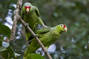 Fotos Papageien Vögel 2 Ast Schnabel Tiere