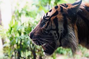 Papel de Parede Desktop Fauve Tigres De perto Focinho Vibrissa Animalia