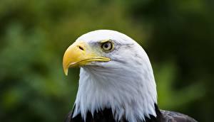 Hintergrundbilder Hautnah Vogel Habicht Weißkopfseeadler Schnabel ein Tier