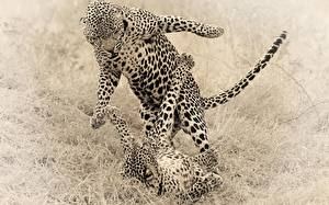 Wallpaper Big cats Leopards Two Fight Animals