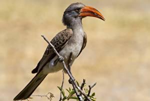 Fotos Vögel Ast Schnabel Tockus erythrorhynchus Tiere