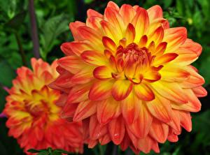 Fotos Georginen Hautnah Orange 2 Blüte