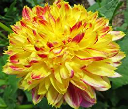 Fotos Georginen Hautnah Gelb Blüte