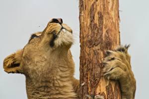 Hintergrundbilder Große Katze Tiere