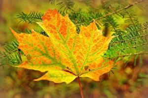 Fotos Herbst Großansicht Jahreszeiten Blatt Ahorne Ast Natur