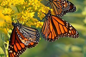 Bilder Schmetterlinge Hautnah Monarchfalter Tiere