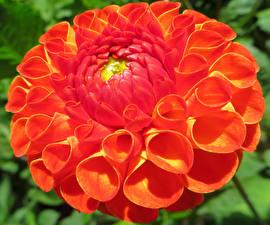 Fotos Georginen Nahaufnahme Rot Blüte