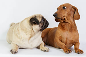Images Dogs Dachshund Pug 2 Animals