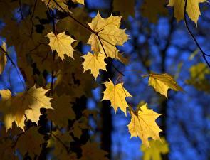 Hintergrundbilder Herbst Jahreszeiten Blattwerk Ahorne Ast Natur