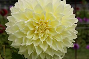 Bilder Dahlien Großansicht Blumen