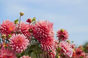 Hintergrundbilder Georginen Nahaufnahme Blumen