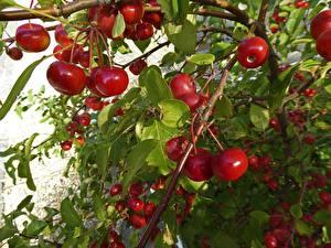 Bilder Kirsche Beere Ast Rot Lebensmittel