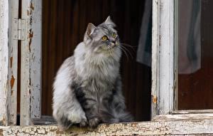 Hintergrundbilder Katze Fenster Flauschiger Blick Tiere