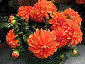 Fotos Dahlien Hautnah Rot Blütenknospe Blumen