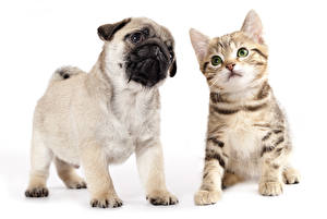 Photo Dog Cat Puppy Kitty cat Pug Two Animals