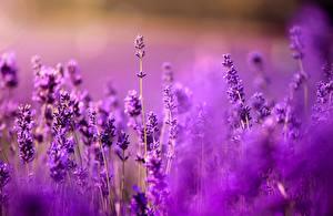 Fotos Lavendel Hautnah Violett Blumen