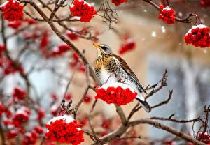 Hintergrundbilder Vögel Winter Beere Eberesche Ast Schnee Natur Tiere