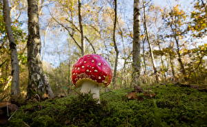 Fotos Wälder Pilze Natur Wulstlinge Birken Laubmoose