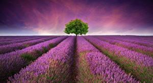 Hintergrundbilder Grünland Himmel Morgendämmerung und Sonnenuntergang Lavendel Bäume Natur