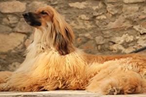 Hintergrundbilder Afghanischer Windhund