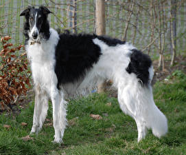 Pictures Dogs Sighthound Grass Animals