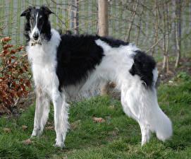 Hintergrundbilder Hunde Windhund Gras Tiere