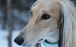 Fotos Hund Windhund Schnauze Afghanischer Windhund