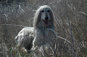 Wallpapers Dogs Sighthound Afghan Hound