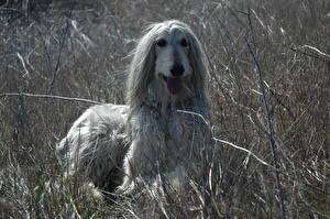 Bilder Hunde Windhund Afghanischer Windhund