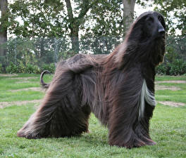 Images Dogs Sighthound Grass Afghan Hound