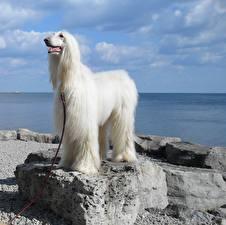 Fotos Hunde Himmel Stein Windhund Weiß Afghanischer Windhund