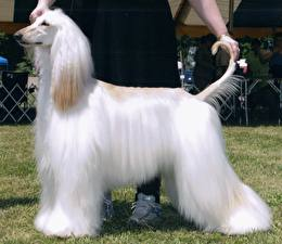 Bilder Hund Windhund Weiß Afghanischer Windhund