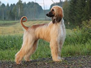 Photo Dogs Sighthound Ginger color Afghan Hound animal