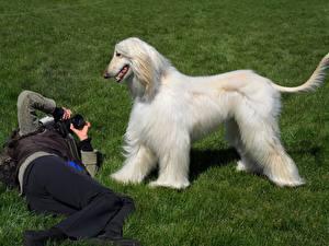 Fotos Hunde Windhund Gras Afghanischer Windhund Tiere