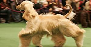 Bilder Hund Windhund Orange rot Afghanischer Windhund
